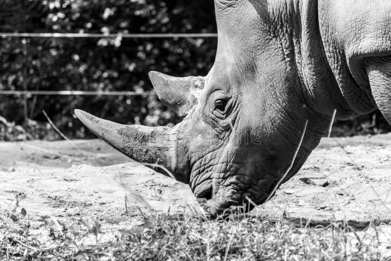 Zuidelijke Witte Rinoceros stock foto