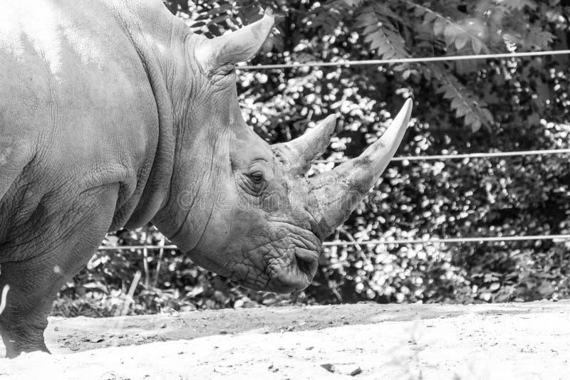 Zuidelijke Witte Rinoceros royalty-vrije stock foto