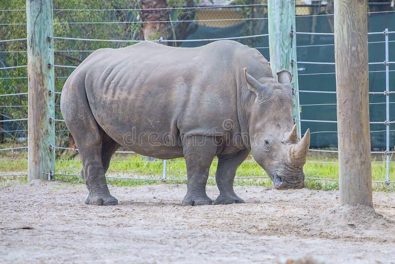 Zuidelijke Witte Rinoceros in Gevangenschap stock afbeelding