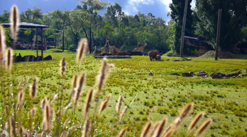 Zuidelijke witte rinoceros in het Afrikaanse Safaritentoongestelde voorwerp royalty-vrije stock afbeeldingen
