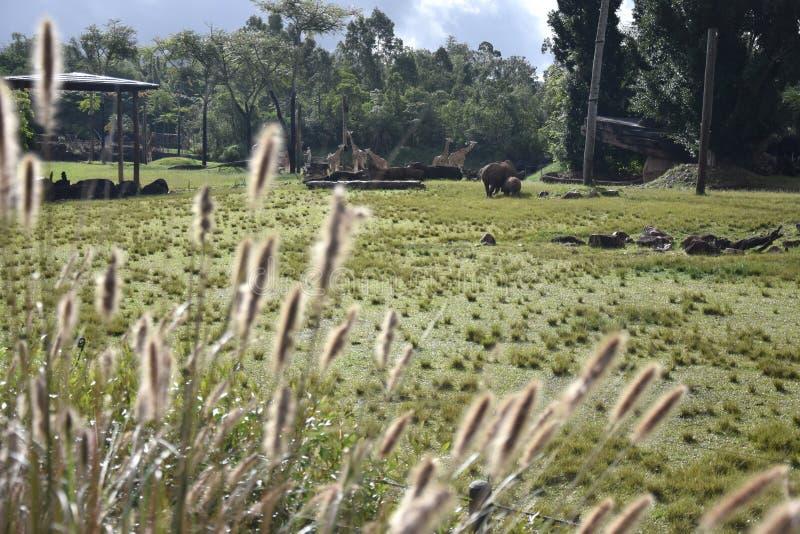 Zuidelijke witte rinoceros in het Afrikaanse Safaritentoongestelde voorwerp royalty-vrije stock foto