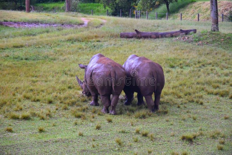 Zuidelijke witte rinoceros in het Afrikaanse Safaritentoongestelde voorwerp royalty-vrije stock foto's