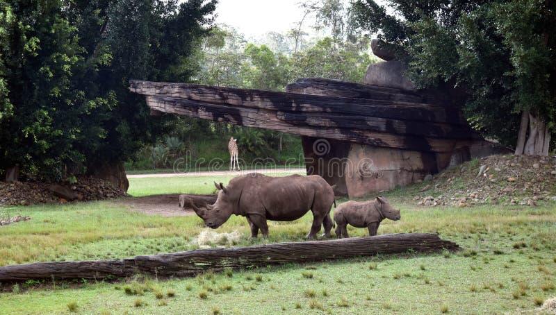 Zuidelijke witte rinoceros in het Afrikaanse Safaritentoongestelde voorwerp royalty-vrije stock fotografie