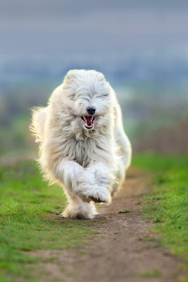 Zuiden Russische herdershond royalty-vrije stock foto