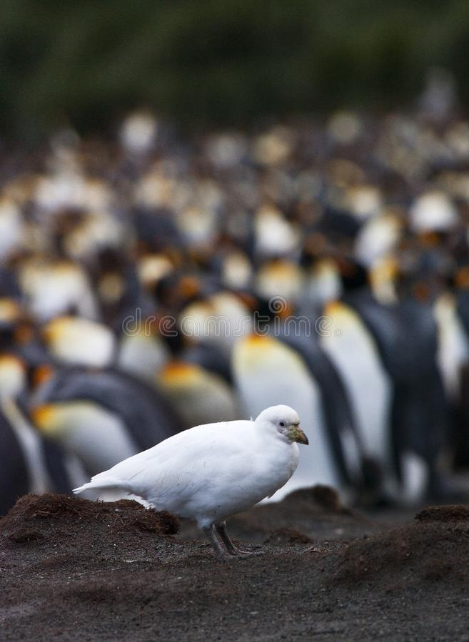 Zuidpoolkip, Snowy Sheathbill, Chionis-albus lizenzfreies stockbild