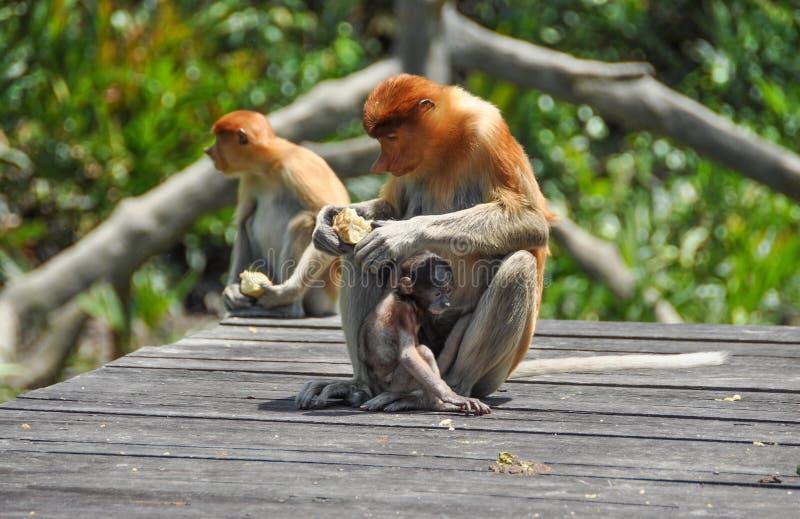 Zuigorganenaap op Borneo stock afbeelding