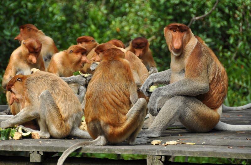 Zuigorganenaap op Borneo royalty-vrije stock foto's