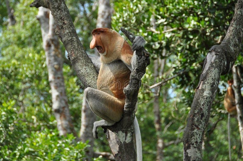 Zuigorganenaap op Borneo stock afbeeldingen