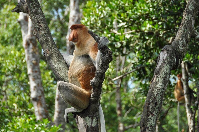 Zuigorganenaap op Borneo stock foto