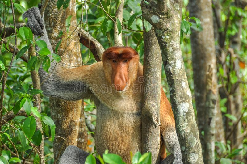 Zuigorganenaap op Borneo royalty-vrije stock foto