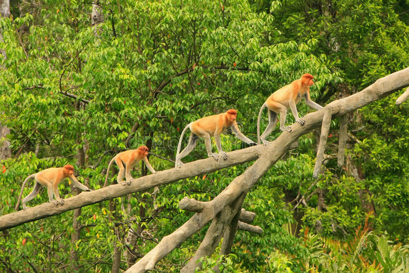 Zuigorganenapen op een boom, Borneo royalty-vrije stock afbeeldingen