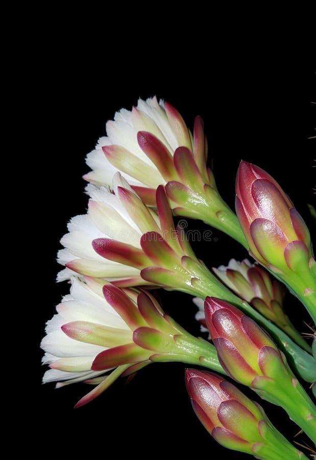 Zuilvormige cactus in bloem bij nacht stock fotografie