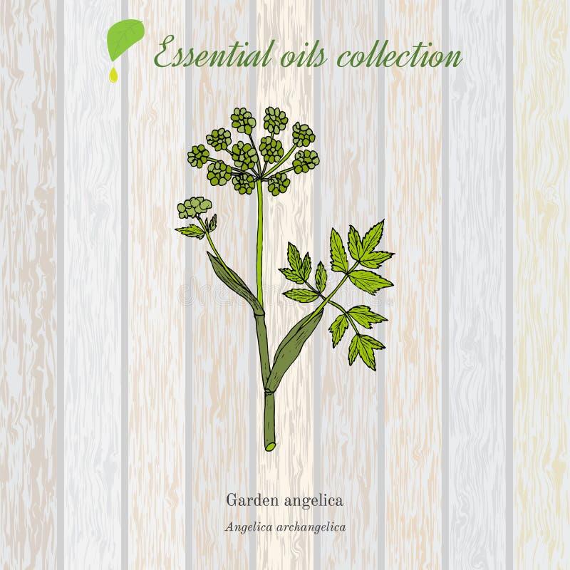 Zuivere etherische olieinzameling, engelwortel Houten textuurachtergrond royalty-vrije illustratie