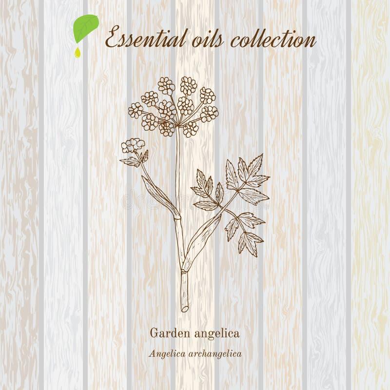 Zuivere etherische olieinzameling, engelwortel Houten textuurachtergrond stock illustratie