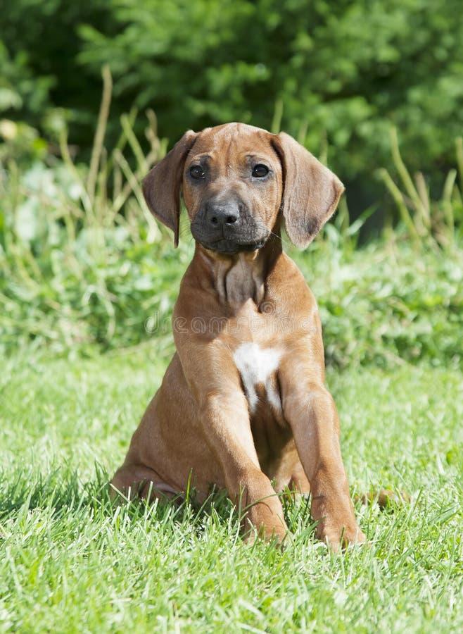 Zuivere het puppyhond van rassenrhodesian Ridgeback in openlucht stock foto