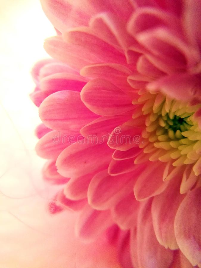 Zuivere tederheid van een roze bloem royalty-vrije stock afbeeldingen