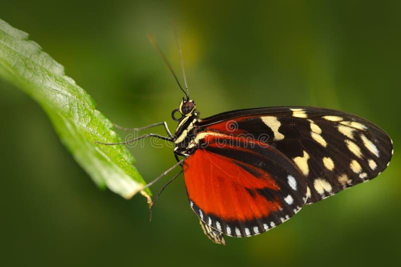 Zuleikas Heliconius Hacale πεταλούδων, στο βιότοπο φύσης Έντομο της Νίκαιας από τη Κόστα Ρίκα στην πράσινη δασική συνεδρίαση πετα στοκ φωτογραφίες με δικαίωμα ελεύθερης χρήσης