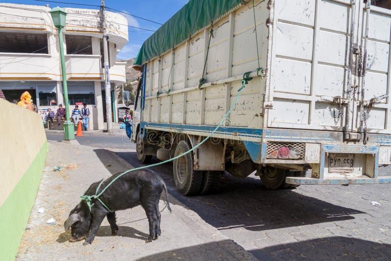ZUMBAHUA, EQUATEUR - 4 JUILLET 2015 : Le porc est fixé au camion au marché traditionnel de samedi d'un village à distance photo libre de droits