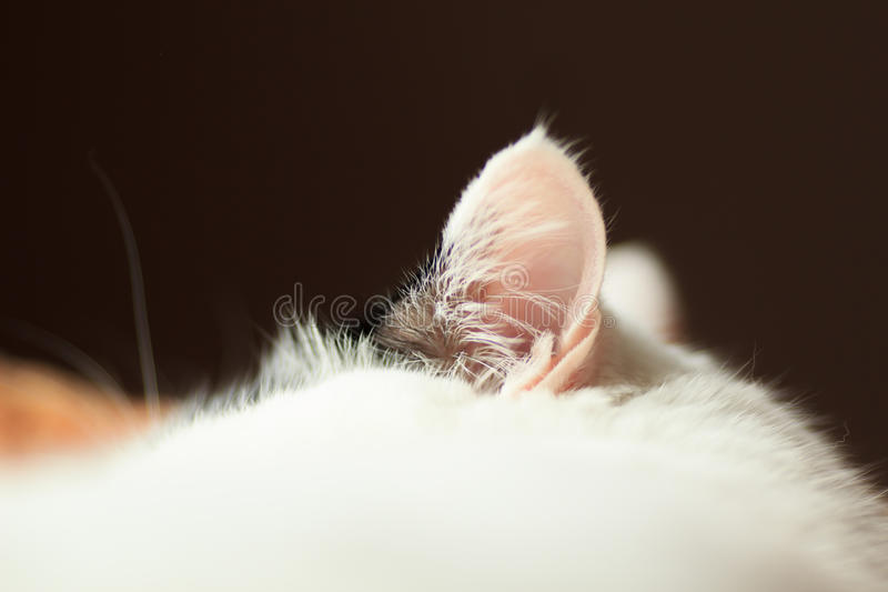 Zumbido da orelha de gato imagem de stock royalty free