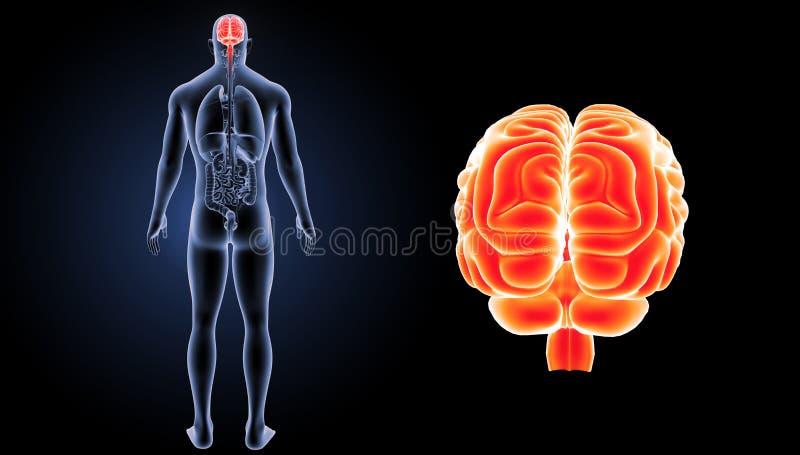 Zumbido do cérebro humano com opinião do traseiro dos órgãos ilustração royalty free
