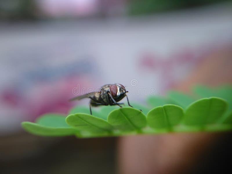 Zumbido do erro da mosca bonito fotos de stock royalty free