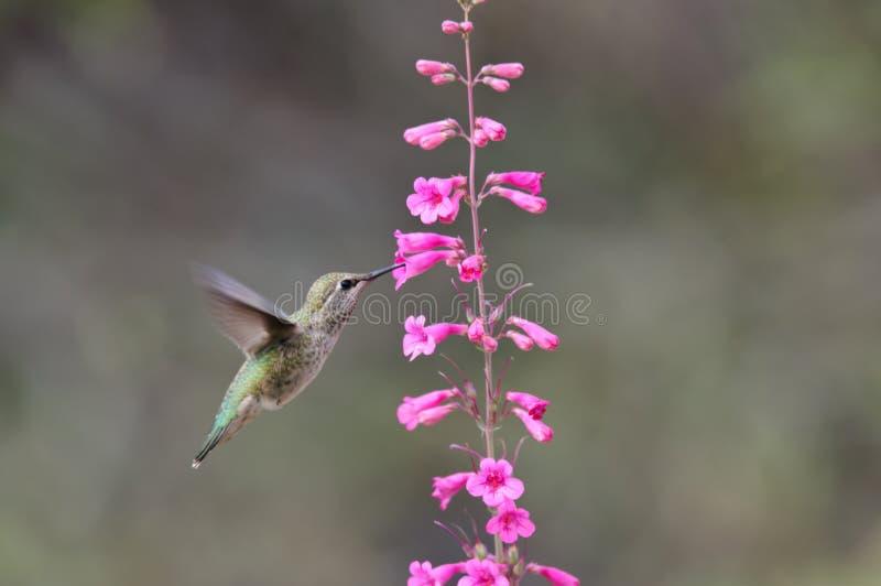 Zumbido e flor foto de stock