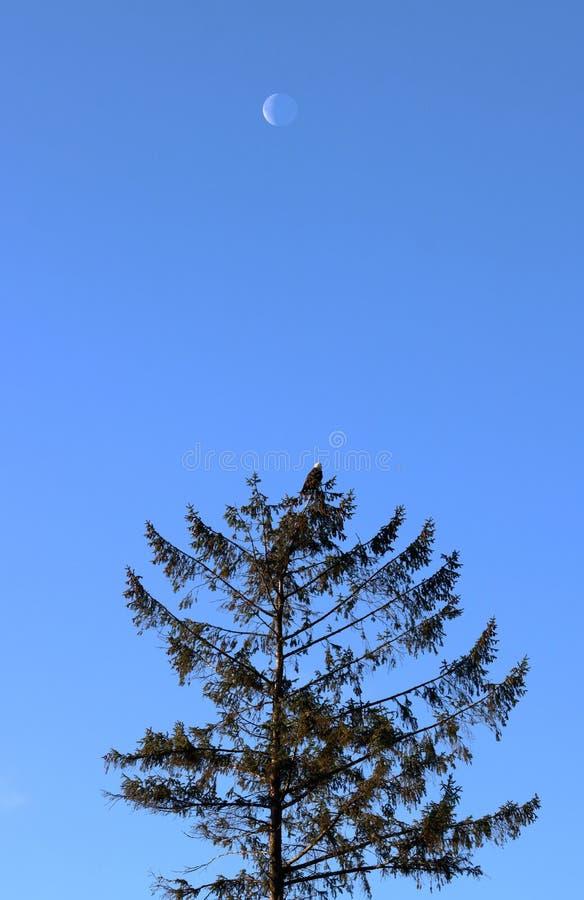 Zunehmender Mond und Eagle stockfotografie