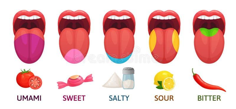 Zungen-Geschmack-Bereiche Süße, bittere und salzige Geschmäcke Umami und saure Geschmackempfänger stellen Karikaturvektorillustra vektor abbildung