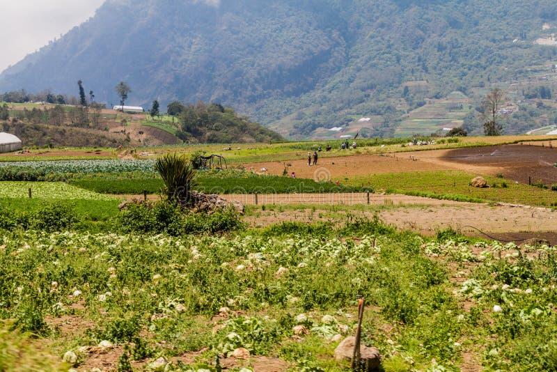ZUNIL, GUATEMALA - MARCH 22, 2016: Local people work on a vegetable field near Zunil village, Guatema stock photography