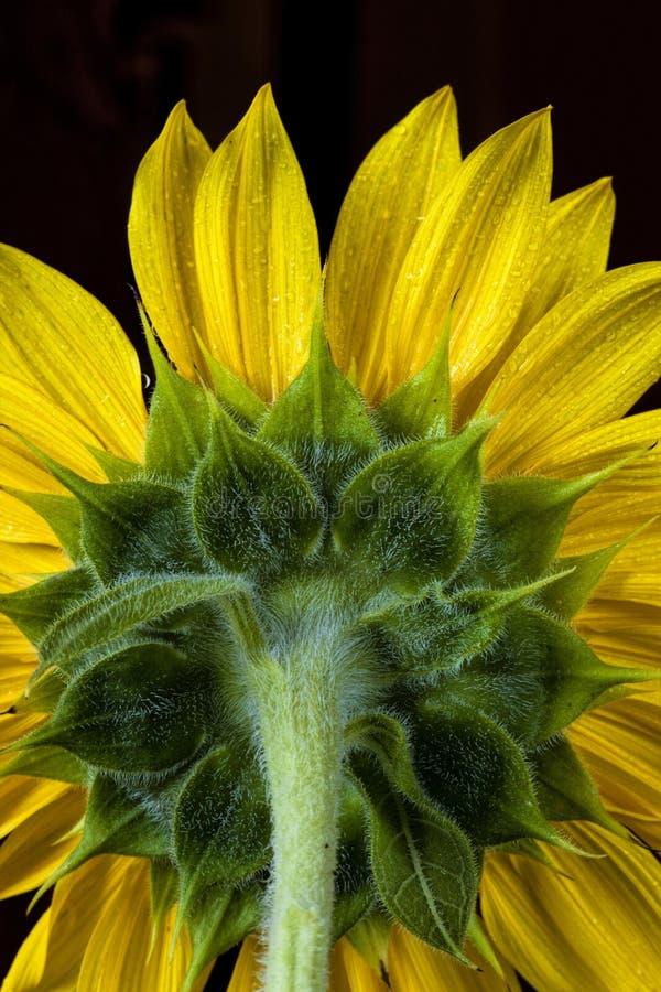 Zurück von der Sonnenblume. stockfoto