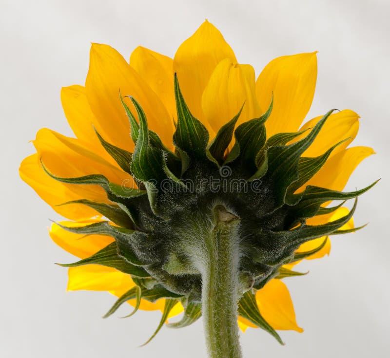Zurück von der Sonnenblume stockbilder