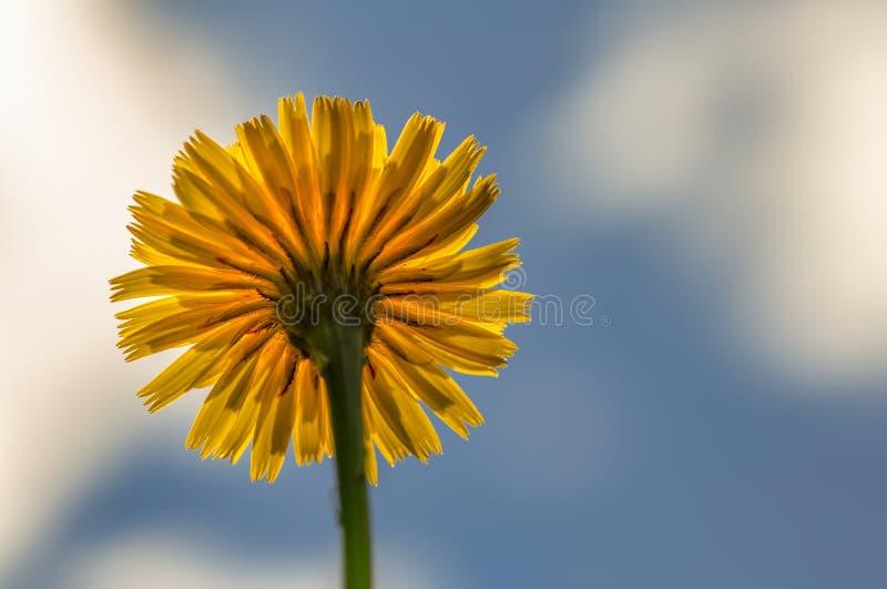 Zurück von einer völlig geöffneten Löwenzahnblume stockfotos