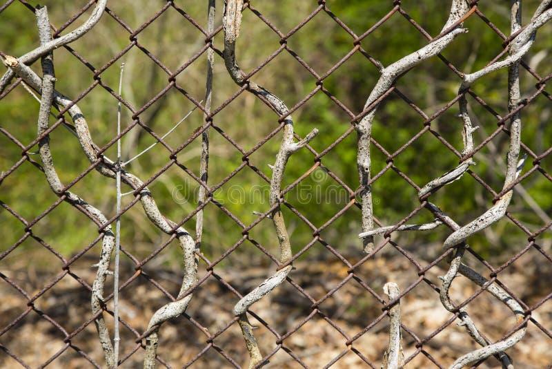Zusammenfassung: Verdrehte Niederlassungen auf verdrehtem Zaun stockfotos