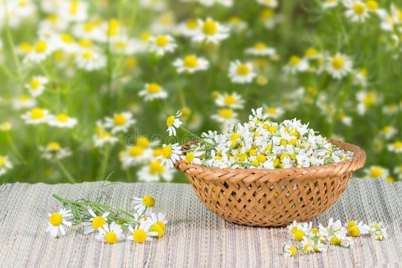 Zusammengebaute Kamille blüht im Weidenkorb auf einem Hintergrund von Kamillenblumen lizenzfreie stockbilder
