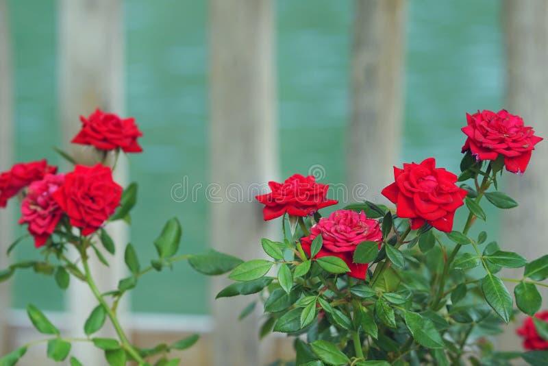 Zusammensetzung von roten Rosen auf unscharfem Hintergrund stockfotos
