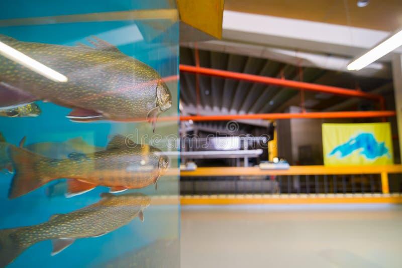 Zustands-Fisch-Brutplatz-Besucher-Mitte Les Voight, Bayfield - große Liveforelle/Lachs vom enormen Aquarium im Vordergrund - Bild lizenzfreies stockbild