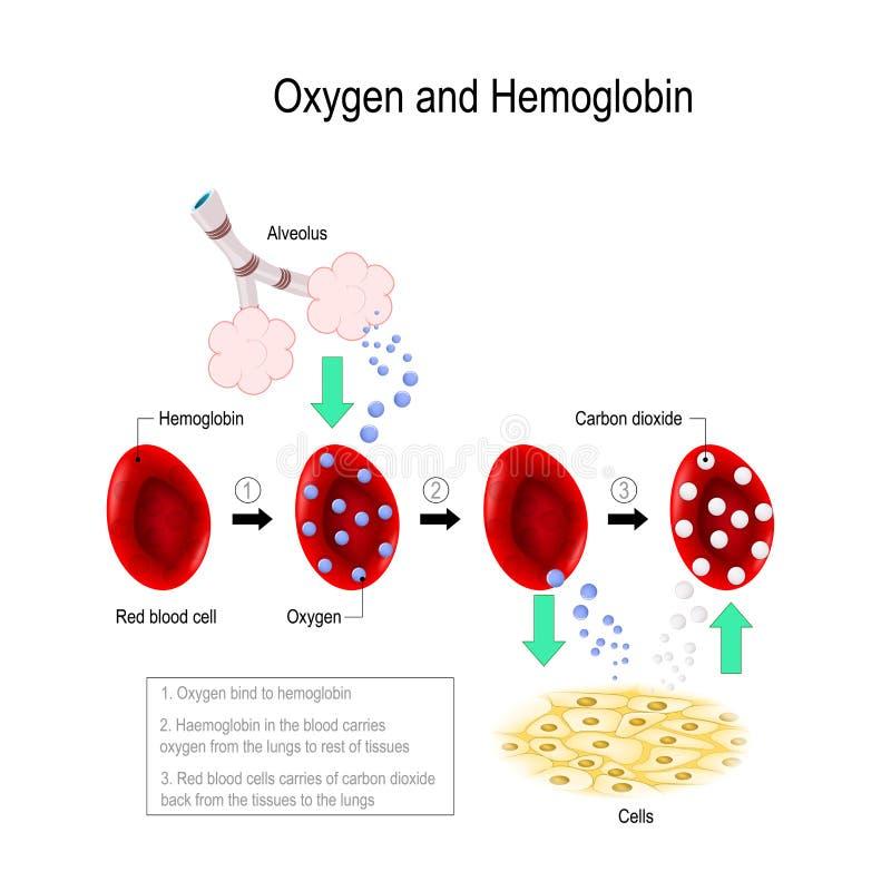 Zuurstof en hemoglobine vector illustratie