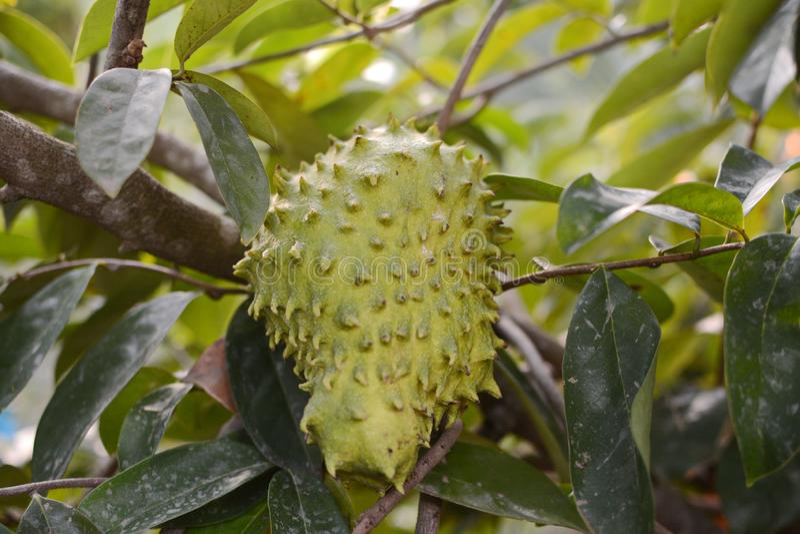 Zuurzak of Stekelig vlaappel/Zuurzakfruit op de boominstallatie voor Behandeling van carcinoom royalty-vrije stock afbeeldingen