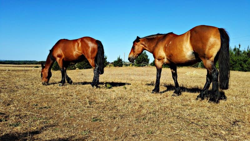 Zuverlässige und starke Pferde auf einem Plan lizenzfreies stockfoto