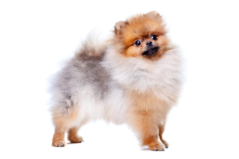 Zverg Spitz, Pomeranian. Puppy, eight months old royalty free stock images