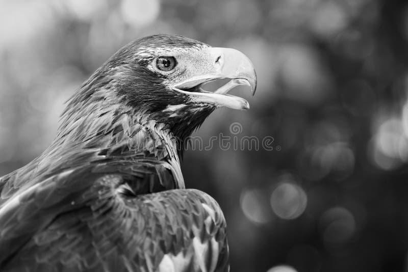 Zwängen-angebundener Adler lizenzfreie stockfotos