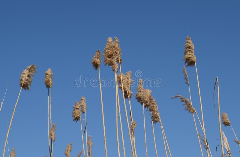 Zwaai het droge riet Struikgewas van droog stock fotografie