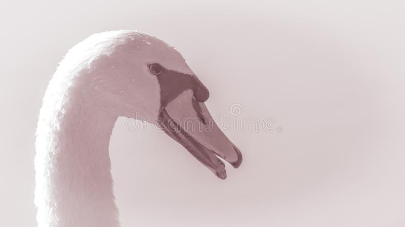 Zwaan Beeld van het hoofd van een mooi bevallig vogelclose-up royalty-vrije stock afbeelding