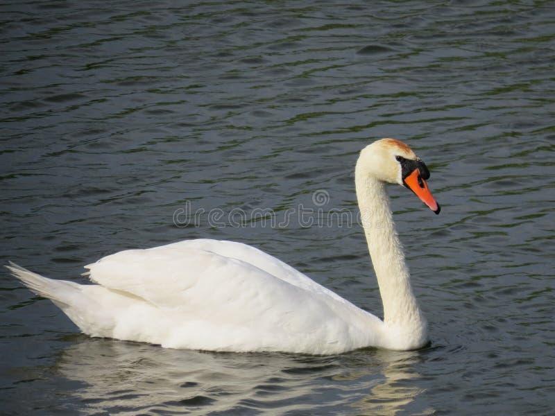 Zwaan in de Delta van Donau stock afbeeldingen