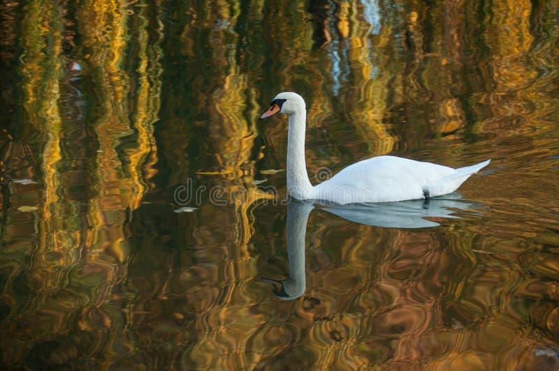 zwaan die in het meer bij de herfstzonsondergangbezinning zwemmen royalty-vrije stock foto's