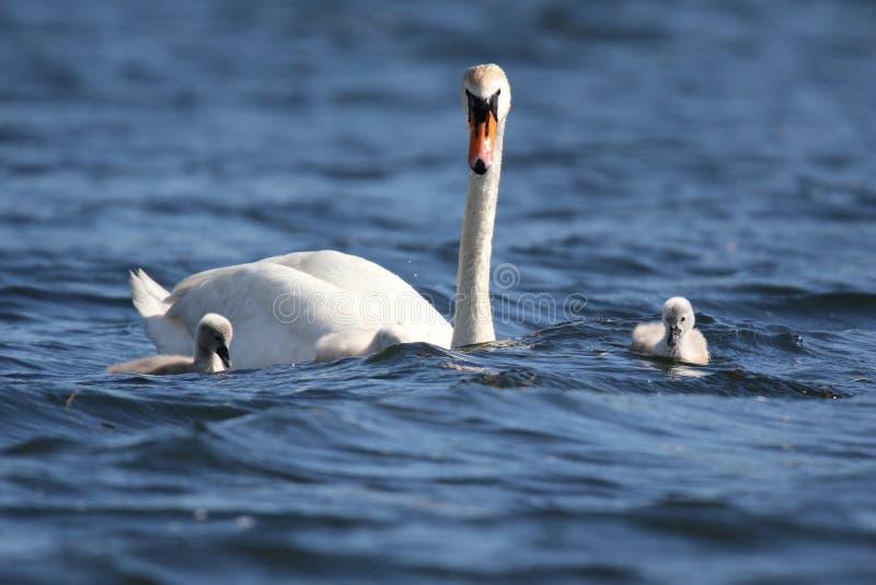 Zwaan die met Jonge zwanen op Windy Day zwemmen royalty-vrije stock foto's