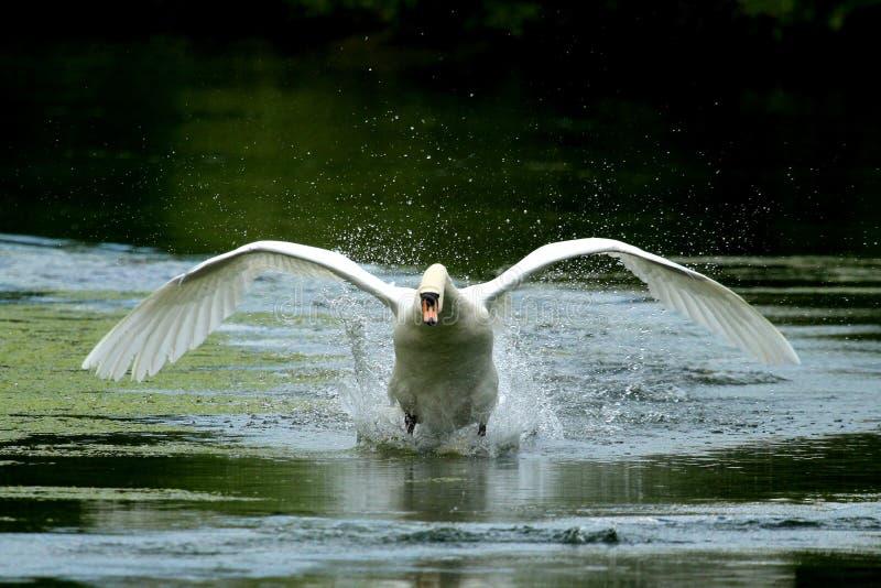 Zwaan die met uitgestrekte vleugels opstijgen royalty-vrije stock afbeelding
