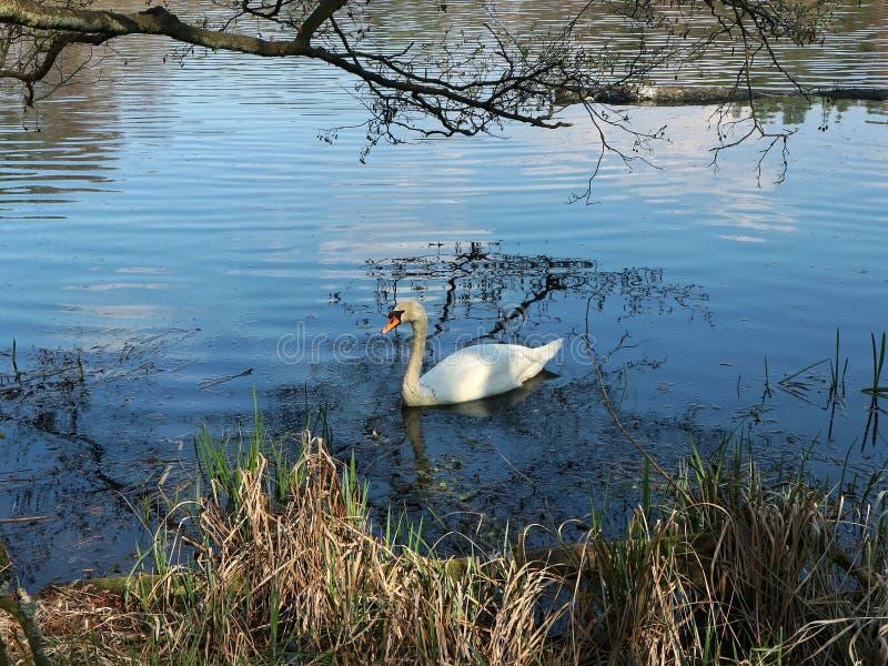 Zwaan die op het meer zwemmen stock fotografie