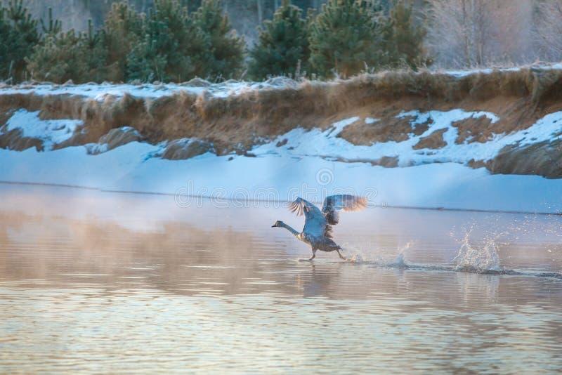 Zwaan die versnellen om op waterspiegel op te stijgen stock fotografie