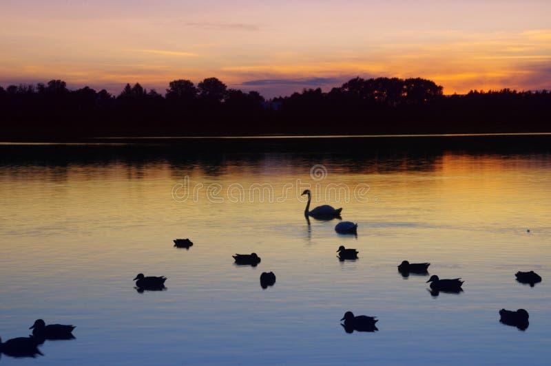 Zwaan en eenden die op meer na zonsondergang zwemmen royalty-vrije stock fotografie